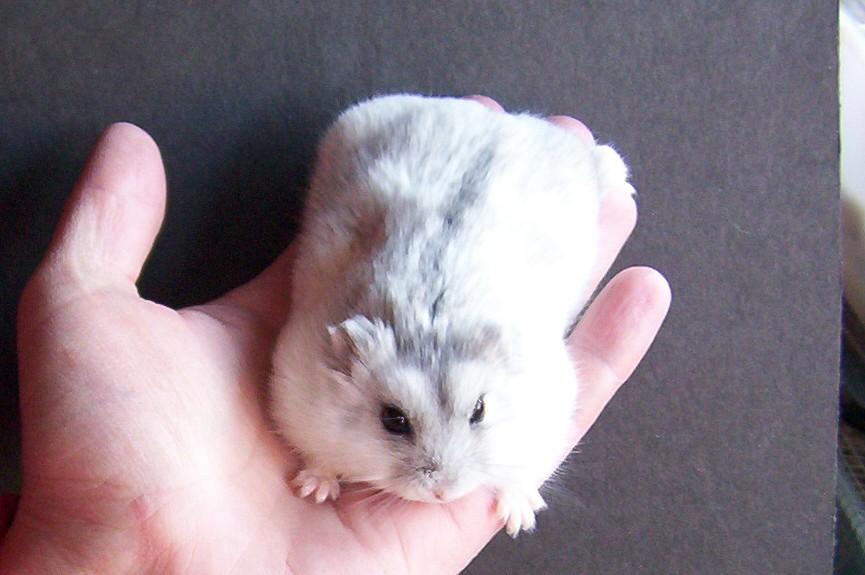 Campbell's Russian Dwarf Hamsters VS Russian Winter White ...